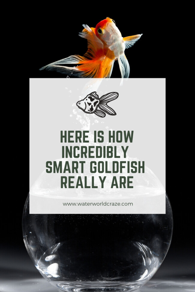 Are goldfish smart?