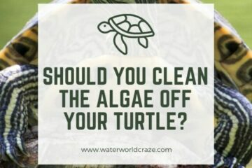 should I clean the algae off my turtle?